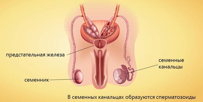 Mis on seksuaalse liikme suurus meestel Kuidas suurendada liikme ilma operatsioonideta ja kiire