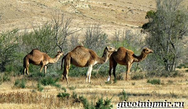 Mis suurusi kaameli liige